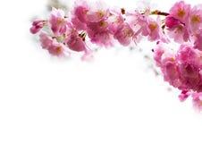 与美丽的桃红色樱花的背景 免版税库存图片