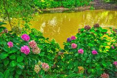 与美丽的桃红色花的开花的霍滕西亚灌木,生长在池塘岸 库存照片