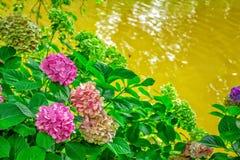 与美丽的桃红色花的开花的霍滕西亚灌木 库存图片