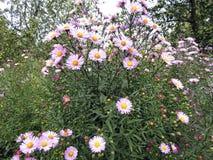 与美丽的桃红色花的花卉背景在庭院里 免版税库存照片