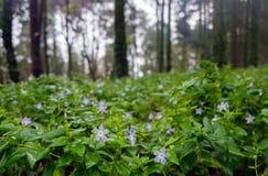 与美丽的浪漫神仙的森林的浅兰的花被弄脏的背景的 免版税库存照片