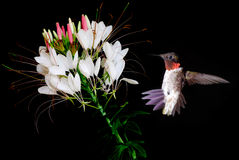 与美丽的热带花的蜂鸟在黑背景 免版税库存图片