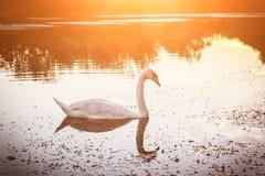 与美丽的白色天鹅在湖,自然背景的金黄日落风景 库存图片