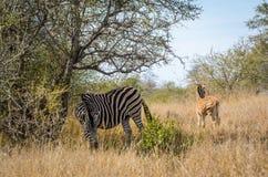 与美丽的白色条纹的斑马在草 克鲁格国立公园,南非徒步旅行队动物 免版税库存图片