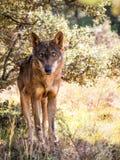 与美丽的眼睛的利比亚狼在秋天 免版税库存照片