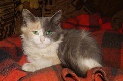 与美丽的眼睛的小猫 免版税图库摄影
