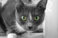 与美丽的眼睛的灰色猫 图库摄影
