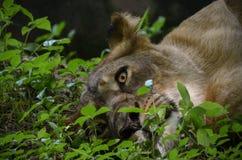 与美丽的眼睛的狮子 免版税图库摄影