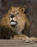 与美丽的眼睛的狮子 免版税库存图片