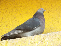 与美丽的眼睛的罗马尼亚鸽子 免版税图库摄影