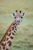 与美丽的眼睛的长颈鹿 免版税库存图片
