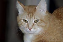 与美丽的红色猫的图片 免版税库存照片