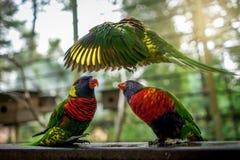 与美丽的羽毛的飞行彩虹Lorikeets 库存照片