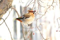 与美丽的羽毛的鸟 免版税库存照片