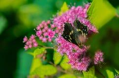 与美丽的翼的一只蝴蝶坐花,吃花蜜 库存照片