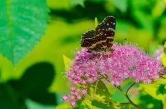 与美丽的翼的一只蝴蝶坐花,吃花蜜 免版税库存图片