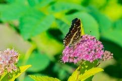 与美丽的翼的一只蝴蝶坐花,吃花蜜 图库摄影