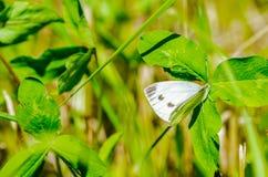 与美丽的翼的一只蝴蝶坐花,吃花蜜 免版税库存照片