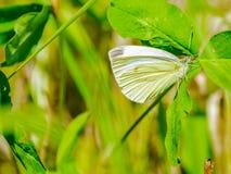 与美丽的翼的一只蝴蝶坐花,吃花蜜 免版税图库摄影