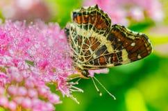 与美丽的翼的一只蝴蝶坐花,吃花蜜 库存图片
