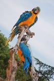 蓝色和黄色金刚鹦鹉 免版税库存图片