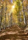 与美丽的色的山毛榉树的金黄10月 库存图片
