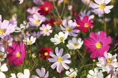与美丽的花kosmeya的明亮的花卉装饰背景在庭院里 免版税库存图片