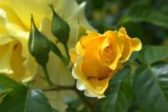 与美丽的芽和绿色叶子的黄色玫瑰在雨以后 免版税库存照片