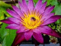 与美丽的莲花的蜂 免版税图库摄影