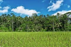 与美丽的蓝天的新露台的米领域 免版税库存照片