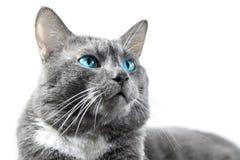 与美丽的蓝眼睛的灰色猫被隔绝的白色背景 免版税库存图片