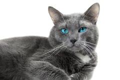 与美丽的蓝眼睛的灰色猫被隔绝的白色背景 免版税库存照片