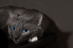 与美丽的蓝眼睛的灰色猫 库存图片