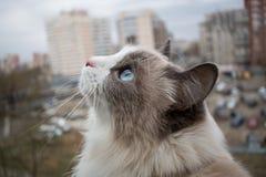 与美丽的蓝眼睛的美丽的良种猫 免版税库存照片