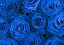 与美丽的蓝色玫瑰的背景 免版税库存照片