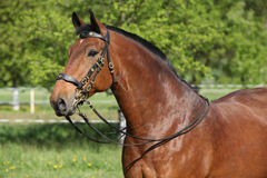 与美丽的辔的惊人的棕色马 免版税库存图片