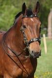与美丽的辔的惊人的棕色马 免版税图库摄影