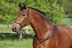与美丽的辔的惊人的棕色马 免版税库存照片