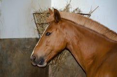 与美丽的马毛的布朗马在槽枥 库存图片