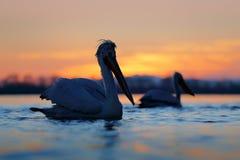 与美丽的鸟的日出 与达尔马希亚鹈鹕, Pelecanus crispus的早晨,在湖Kerkini,希腊 两Palican在桔子 免版税库存图片