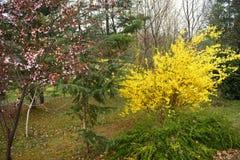 与美丽的黄色花的连翘属植物灌木在公园2 免版税库存图片
