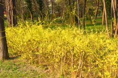 与美丽的黄色花的连翘属植物灌木在公园2 库存照片