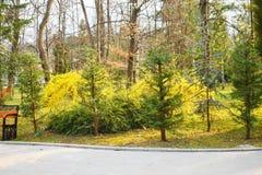 与美丽的黄色花的连翘属植物灌木在公园2 免版税库存照片