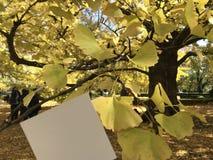 与美丽的黄色银杏树树的空白的白皮书在背景 免版税库存图片