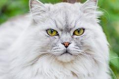 与美丽的头发和聪明的眼睛的一只灰色猫 库存图片