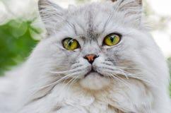 与美丽的头发和聪明的眼睛的一只灰色猫 图库摄影