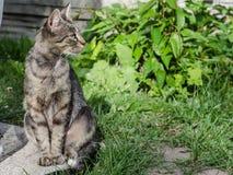 与美丽的头发和聪明的眼睛的一只灰色猫 免版税图库摄影