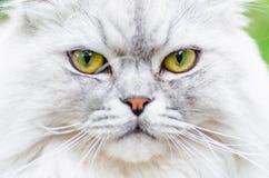 与美丽的头发和聪明的眼睛的一只灰色猫 库存照片