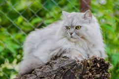 与美丽的头发和聪明的眼睛的一只灰色猫 免版税库存图片