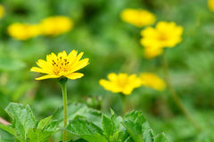 与美丽的黄色花的春天背景 免版税库存照片